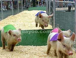 一头猪的宣言(超酷组图) - 比爱更爱 - 上善若水,水利万物而不争