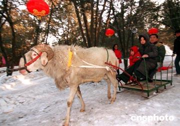 图文:北京市民家门口享受羊拉雪橇的乐趣