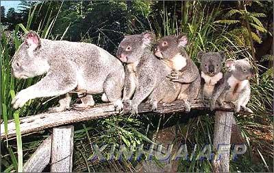 澳大利亚特有的珍稀动物考拉[图3]