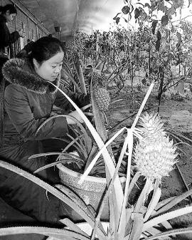 通常,热带水果生长的温度约在20摄氏度左右,由于使用了假植等培育方式