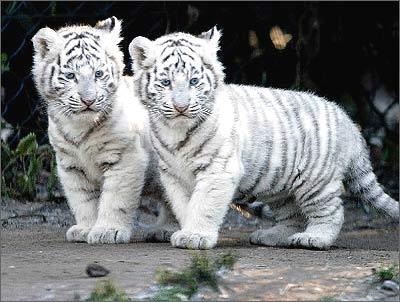 可爱的荷兰白虎宝宝首次公开亮相[图]
