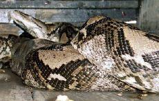 85米,重447公斤的巨蟒.到目前为止,这条蟒蛇是世界上最大的蟒蛇.