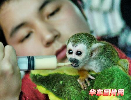 从南美引进一批国际二级珍稀保护动物-热带松鼠猴