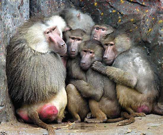 又冷又湿,香江野生动物园的一群狒狒抱在一起取暖 纪粤鸣摄