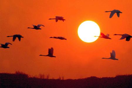 山西有个 天鹅湖 白天鹅在夕阳中飞翔图片