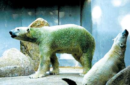 """图文:新加坡北极熊母子""""绿装亮相"""""""