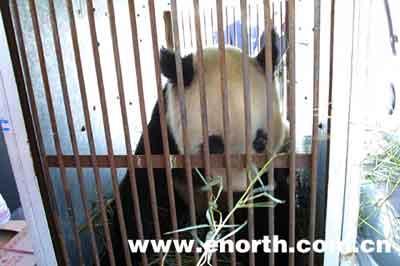 天津又添活国宝 两只大熊猫落户天津动物园(图)