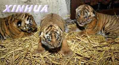 组图:上海动物园华南虎喜添三丁