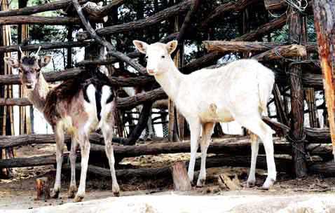 白鹿快活的生活在动物园里,而自然界中的白鹿,因为失去了自身的保护色
