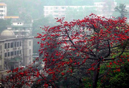 图文:广州中山纪念堂广场的木棉树红花绽放