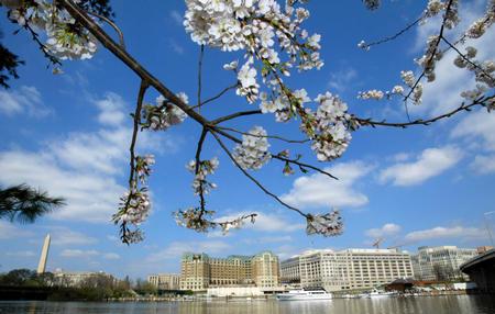 图文:华盛顿波多马克河旁绽放的樱花可爱诱人