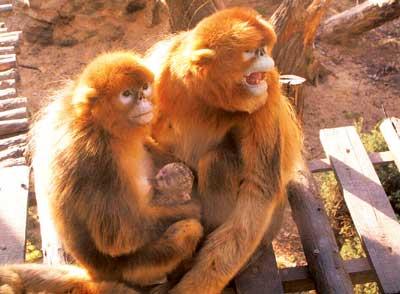 北京野生动物园金丝猴又添新丁(图)