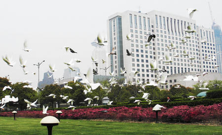 广场上空又见成群鸽子自由飞翔的景象.