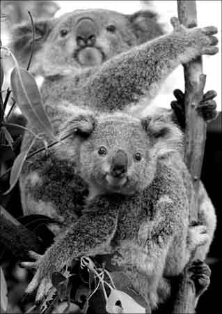 新闻频道 国际 国际要闻    澳大利亚野生动物部门正计划给考拉避孕