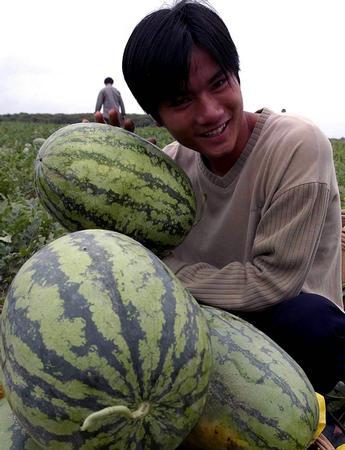 图文:永乐西瓜喜获丰收-挑选成熟的西瓜