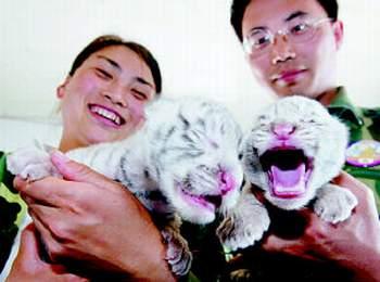 野生动物园产房传喜讯 沈阳白虎喜得龙凤胎(图)