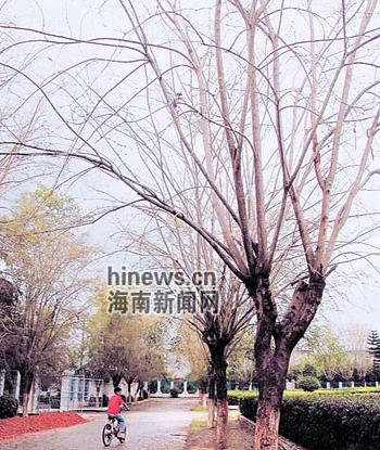 两旁的印度紫檀树