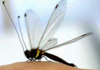 """蜻蜓头上长""""天线""""(图)"""