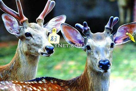 """经营梅花鹿的公司,他们以""""花8500元买头梅花鹿,可每年从这头鹿的身上"""