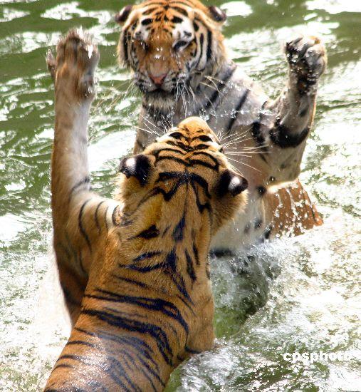 组图:南京动物园里老虎戏水避暑