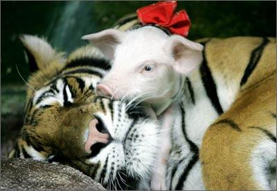泰国动物园:老虎小猪一家亲[组图]