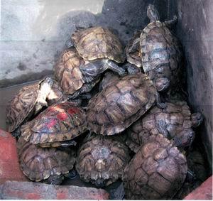 [附图)龟式金字塔!18只乌龟造图片