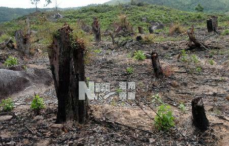 被毁林木数以千亩 海南纸浆林屡遭盗伐(组图)