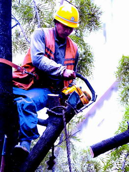 风吹雨打银桦脆弱1586棵大树被修理(组图)