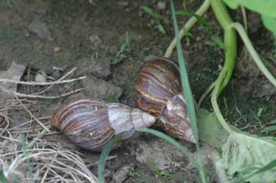 非洲大蜗牛惊现屏西菜地(组图)
