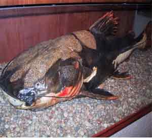 巨型食人鱼图片_巨型食人鲶鱼最脏的鱼 鲶鱼图片 巨型鲶鱼吃人图片图片