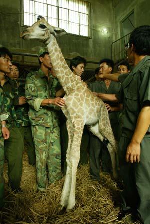 沈阳森林野生动物园人工哺乳的长颈鹿亮相(图)