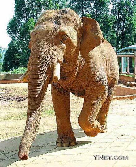 昆明动物园大象踩死饲养员(图)