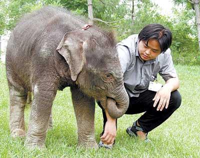 大象馆的工作人员说,小象活泼可爱,喜欢与人亲近, 如今已能快速奔跑