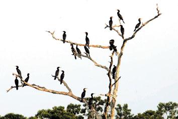亚马逊丛林里有种鸟名为音乐鸟,它的个头差不多麻雀般大小,也是