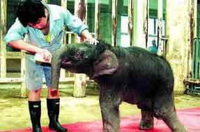 北京动物园小亚洲象降生41天征名未果心衰而亡