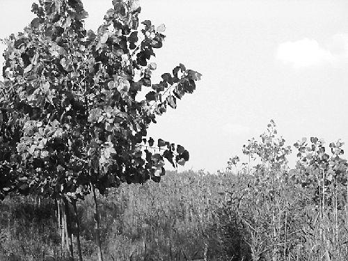 竟有杨树生长在水稻田中