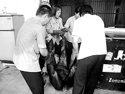 记者在广州动物园猩猩馆看到