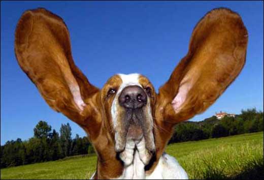 世界上耳朵最长的狗(图)
