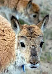 侯德强:高原精灵藏羚羊离2008还有多远(组图)