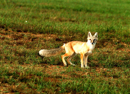 图文:内蒙古野生动物生态链逐渐恢复(3)