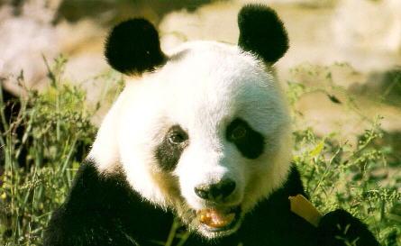 大 熊 猫