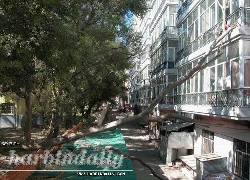 枯树断裂砸向居民阳台(图)