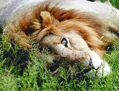 非洲狮从二十万到不足四万(图)
