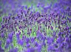 普罗旺斯的薰衣草(摄影)
