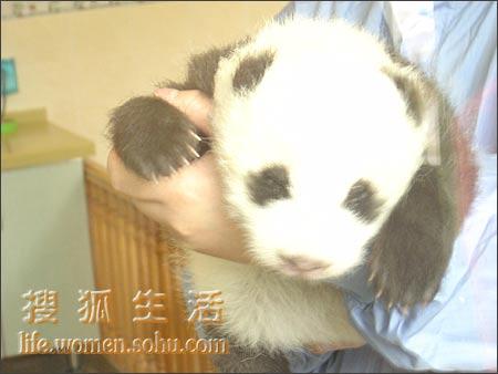 主题可爱小熊猫图片
