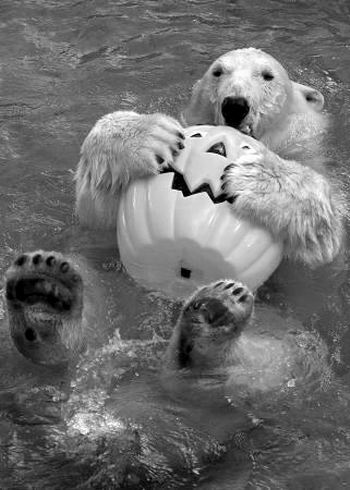 美国圣地亚哥动物园的一只北极熊28日抱