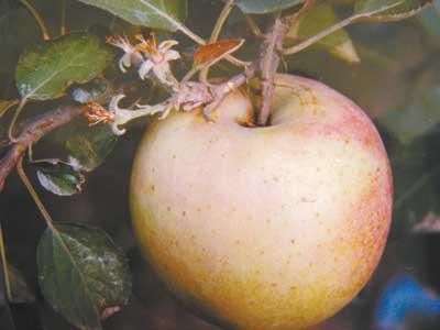 苹果树结果又开花(图)