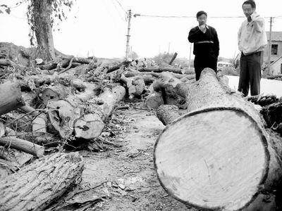 谁砍了紫金山20000棵树?(图)