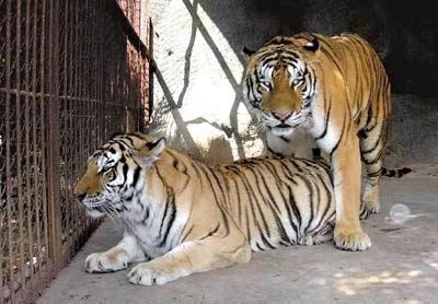 为防禽流感,动物园的老虎也要换口味了.photocome供图