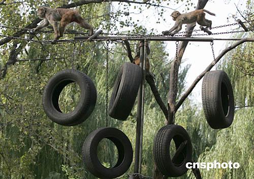 """北京动物园猴山的""""冬季奥运会""""(图)"""